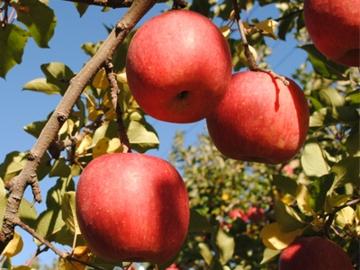 福島県産 サンふじりんご 10kg 小ぶり (18玉入り×2段)*